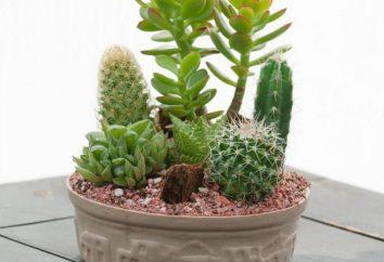 Cactus fiori, la cura e l'allevamento di piante d'appartamento