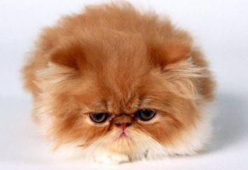Cosa sogna gatto rosso? Si trasformerà nella vita