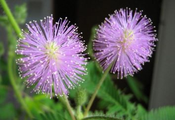 Mimosa pudica. Caratteristiche di coltivazione