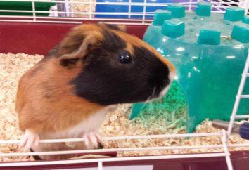Konfigurowanie dom dla świnki morskiej. Jak zrobić klatkę i schronienia dla zwierząt własnymi rękami?