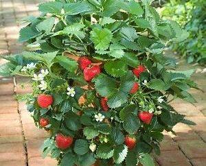 Wenn die Trimm Schnurrbart Erdbeeren und ob es zu tun?
