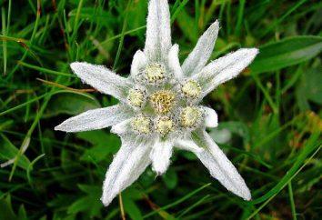 Edelweiss – Highlands fiori