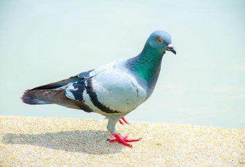 Gołębi, ich choroby i leczenia. Choroby gołębi, są szkodliwe dla ludzi
