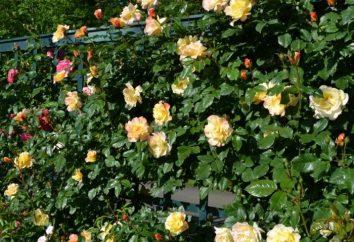 Come moltiplica Peony- Rose?