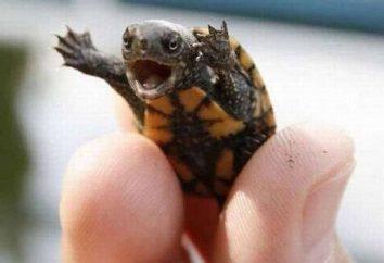 Miłośnicy zwierząt: jak karmić żółwia w domu?