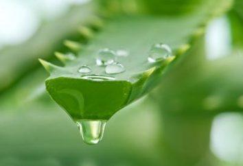 Aloe en la medicina popular. El jugo de aloe – reseñas, recetas, propiedades
