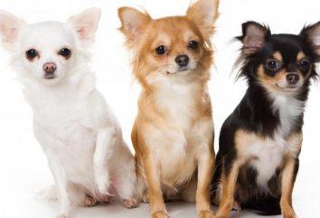 Ile żywo w Chihuahua, i jak przedłużyć żywotność