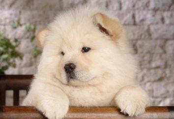 Los perros, como los osos: Chow y Pomerania
