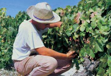 """""""Ataman"""" – las uvas para gourmets y líderes"""