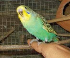Come abituare un pappagallo ondulato alle tue mani? Suggerimenti pratici
