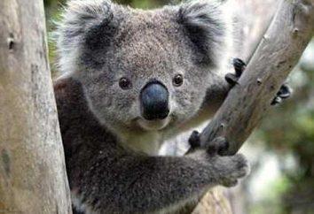 marsupial urso e indefesa – Koala