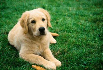 Szczepionka przeciwko wściekliźnie dla psów: nazwa użytkownika, ważność