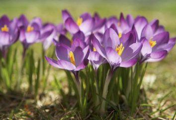 Kwiaty bulwiaste