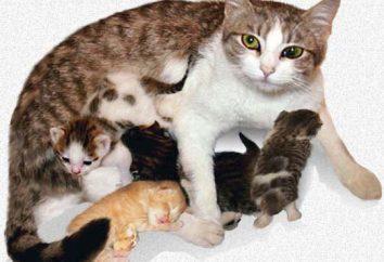Ile kot rodzi? woda kot złamał – ile będzie rodzić?