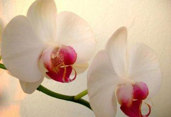 Was tun, wenn in Töpfen verblassen Orchideen?