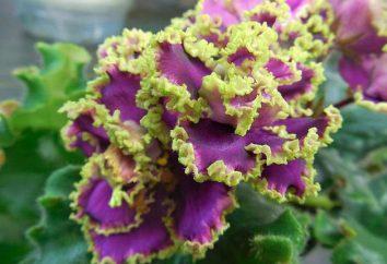 "Violet ""Esmeralda"": opis, opieka"