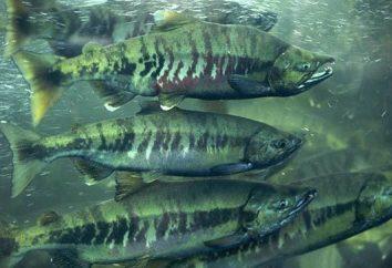 KETA plony kawior ryby tylko raz w życiu