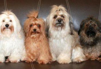 Ruso perro faldero de color: caracteres, fotos y comentarios