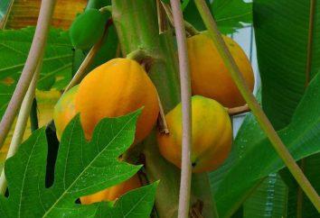 Öl Papaya Wache der weiblichen Schönheit