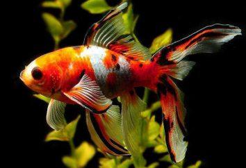 Les poissons d'aquarium Comet: les soins, le contenu