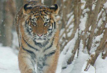In una zona naturale abitata da tigri che vivono oggi sul pianeta