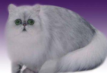 Odmian ras kotów: perski szynszyli