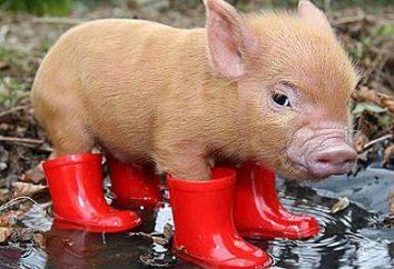 Dlaczego sen świni: szczegółowa interpretacja