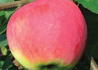 Apple Tree Mantet jest opisem odmian