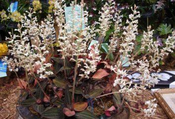 Ludiziya – orchidea prezioso. Cura, descrizione, foto