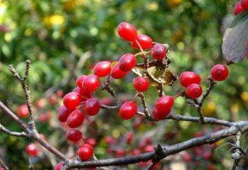 Corniola Cherry Jam: ricetta e utili proprietà