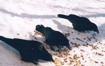 Lo que hay que alimentar a los cuervos y por qué se necesitan saberlo?