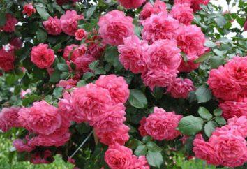 """Liebling der Gärtner: Rose """"Rosarium yutersen"""""""