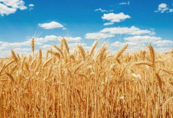 Ce qui est différent du blé de seigle en apparence?