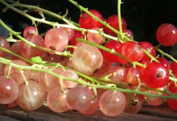 """Ribes """"rosa olandese"""": la combinazione di buon gusto e"""