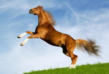 Interpretazione dei sogni: ciò che un cavallo da sogno