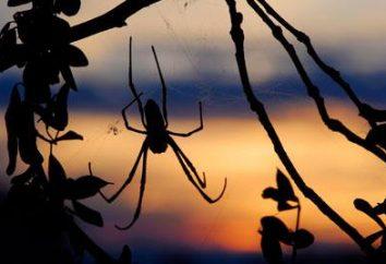 Quelles sont les caractéristiques de la structure et le comportement des Araneus d'araignée. Caractéristiques araignée Araneus