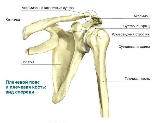 Anatomía: húmero. La estructura del húmero