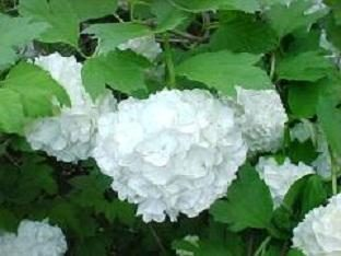 secretos ms en el extranjero: Viburnum Buldonezh