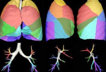 I segmenti del polmone. segmenti polmonari Reed
