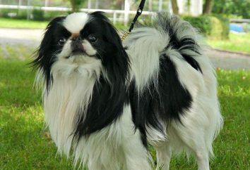 Perros quinina japonesa: Descripción de la raza y comentarios