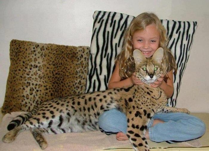 Pet Ghepardi Cat Savannah