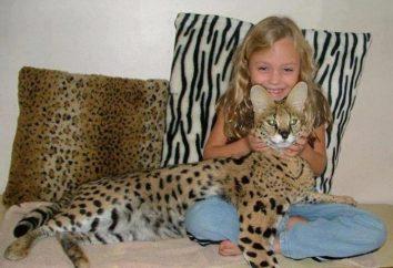 Pet gepardami – Savannah cat