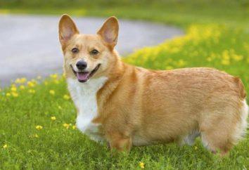 raça do cão Welsh Corgi: Descrição