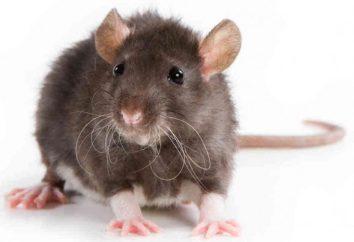 Per cosa preparare, se sognava di un topo?