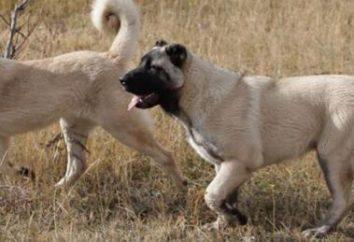 Gampr (ormiański wilczarz): opis rasy, charakter i hodowców opinii