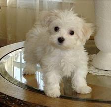 Maltese lap pies – najlepszy wybór dla rodzin