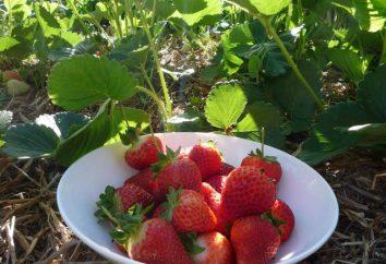 Fragola Marmellata: semina e la coltivazione