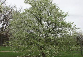 peras cuidados primavera, pragas