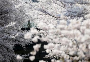 Wiosna nadeszła: 12 niesamowite zdjęcia z wiśni