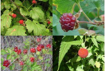 Dzikie krzewy: gatunki i nazwy